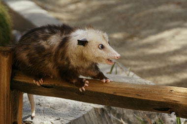 Veterinary institute of integrative medicine - How to get rid of possums in the garden ...